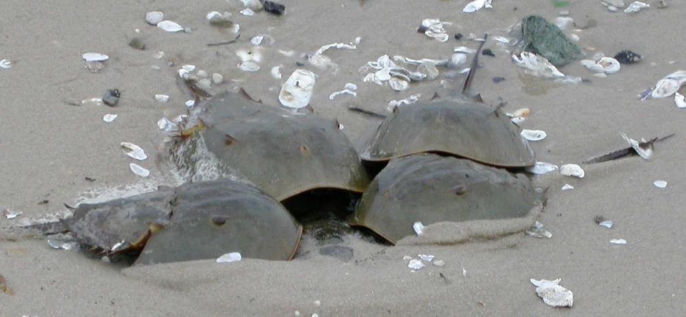 Many Horseshoe Crabs and Birds on Delaware Bay