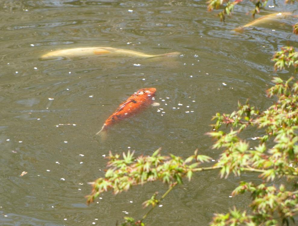 Spring in fairmount park in philadelphia for Colorful pond fish