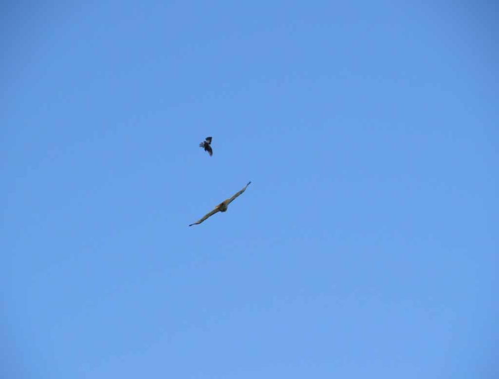 Bird Bombs Bird is Also Dive-bombing