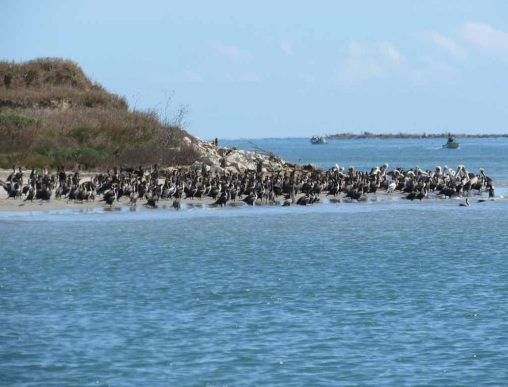 many pelicans and comrmorants on shore