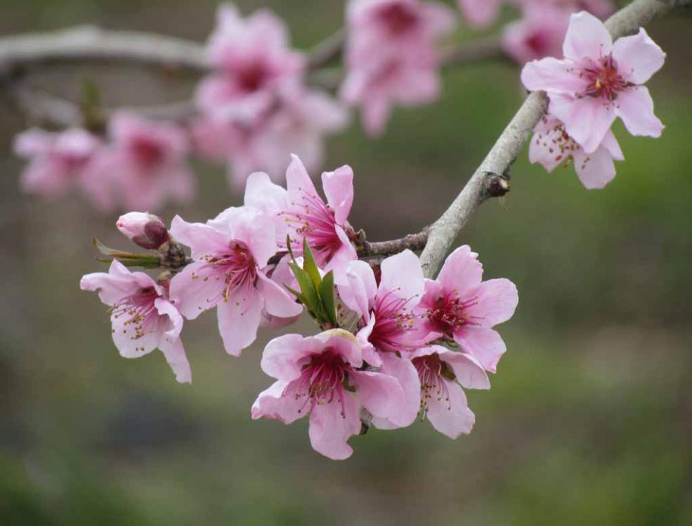 Pear Flowers Images
