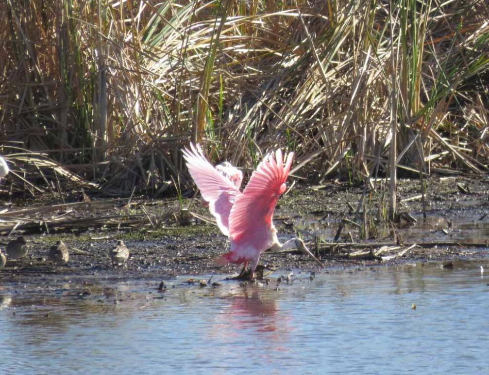 Beautiful Pink Roseate Spoonbill