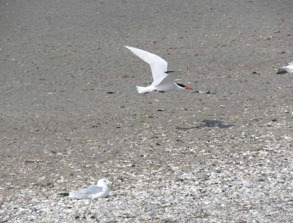 Caspien Tern in flight