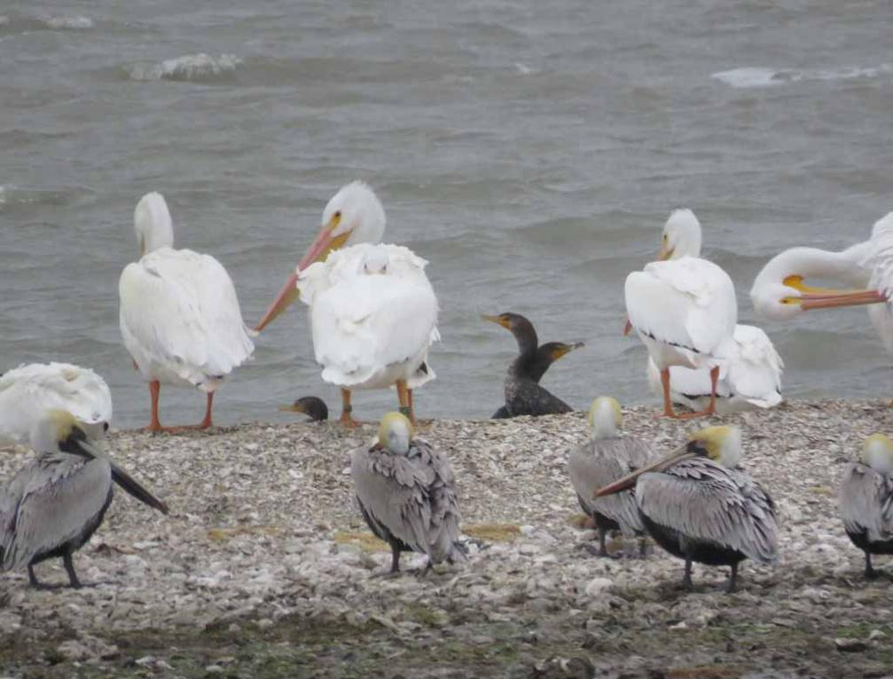 white pelicans and brown pelicans