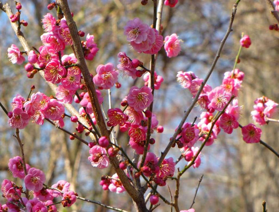 Prunus Mume Blossoms Are Blooming