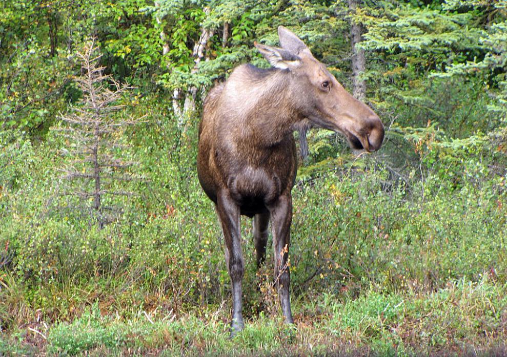 a female moose