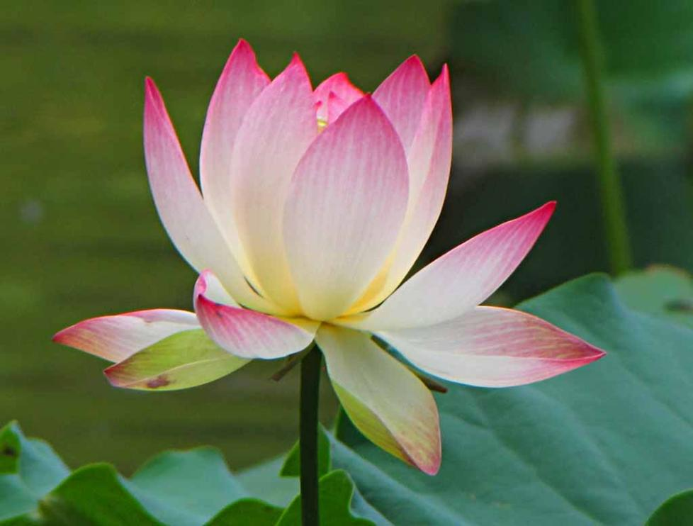 Lotus and other beautiful flowers in princeton new jersey usa mightylinksfo
