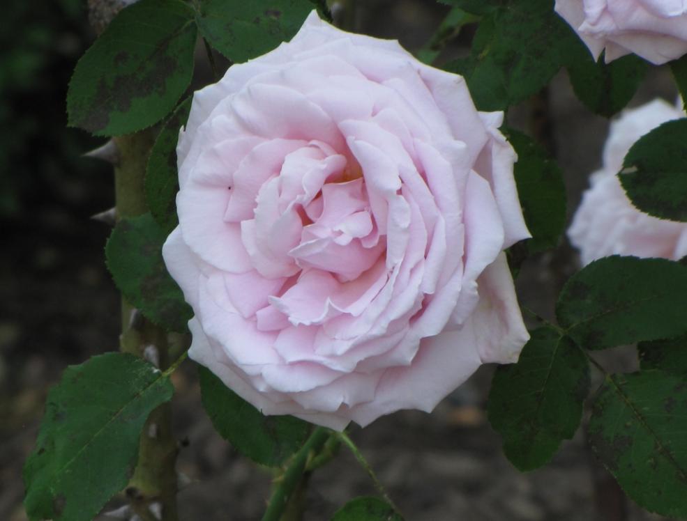Roses In Garden: Rose Garden In Colonial Park In New Jersey