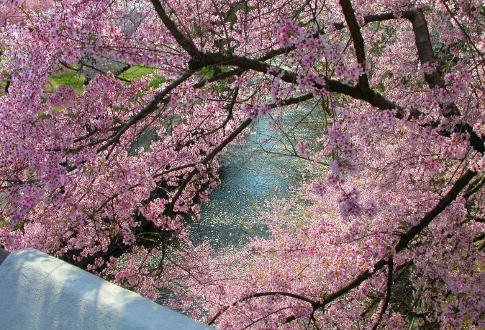 more than cherry trees blossom in Japan has given vancouver more than 37,000 cherry blossom trees no wonder the city gets so into the sakura celebration hundreds of blossoms at a time can be found in different parts of vancouver and its 50 parks.