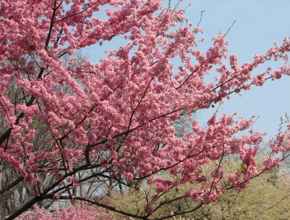 到處都是櫻花 開得非常茂密 一片花海 人從下面走過 感覺四面 八方都是櫻花 那是一種難以形容的心靈的悸動 彷若人間仙境