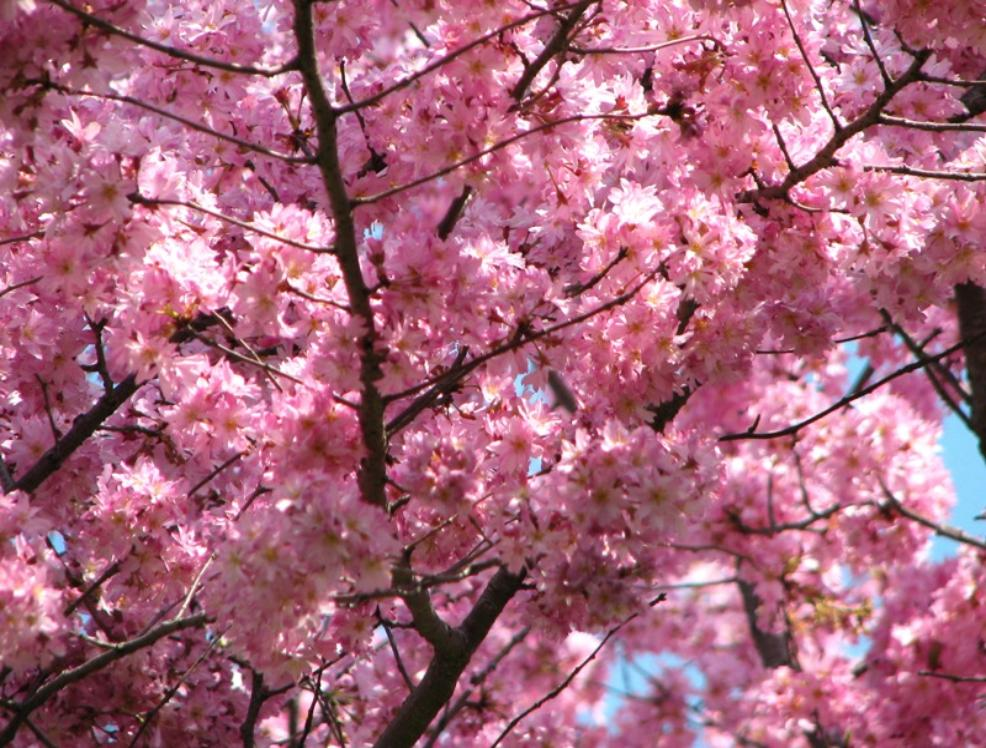 Cherry Blossom In New Jersey More Than 5 000 Cherry Trees