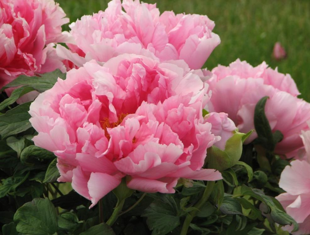 Beautiful peony garden waterfalls and more in pennsylvania for Flowers and gardens pictures